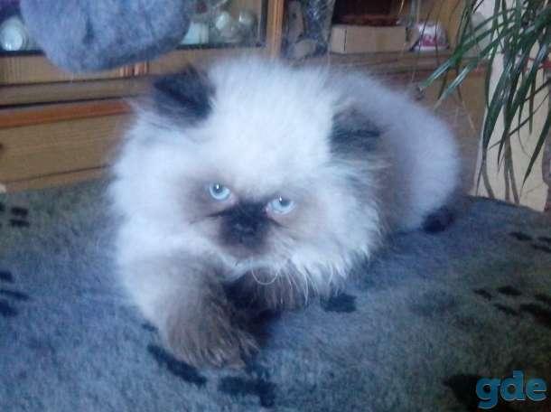 персидские котята, фотография 7