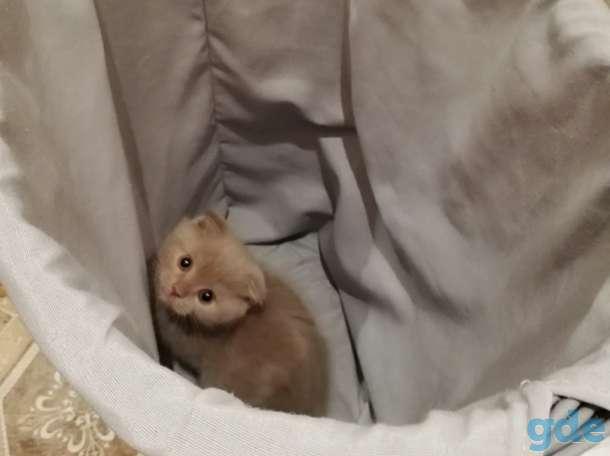 Вислоухий котенок, фотография 3