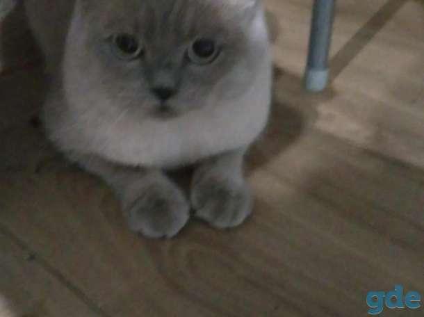 шотландский кот для вязки, фотография 2