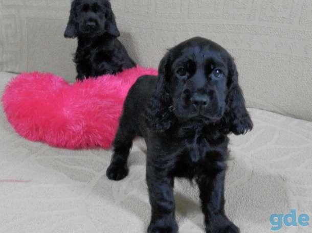 Продаются щенки английского кокер - спаниеля, фотография 3