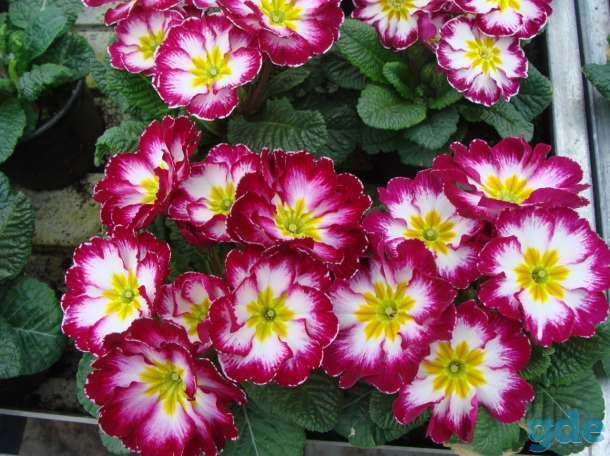 Цветы Примула к 14 февраля, фотография 2