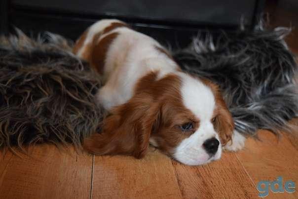 чудесный щенок породы Кавалер кинг Чарльз спаниель, фотография 3