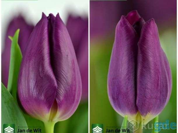Голландские тюльпаны к 8 Марта (Опт, Розница).