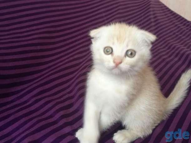 Шотландские котята. Пушистое счастье в ваш дом., фотография 10