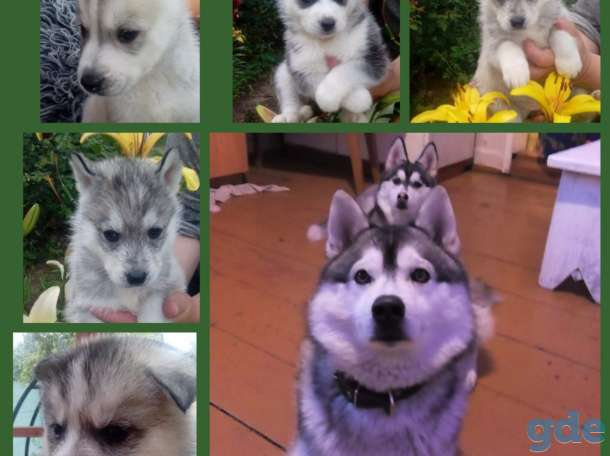 Продам щенков сибирской хаски, фотография 1
