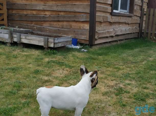 Французского бульдога замечательные породные щенки, фотография 8