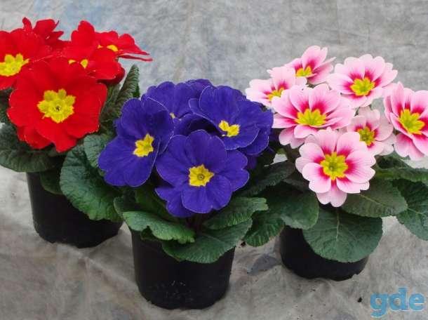Цветы Примула к 14 февраля, фотография 4
