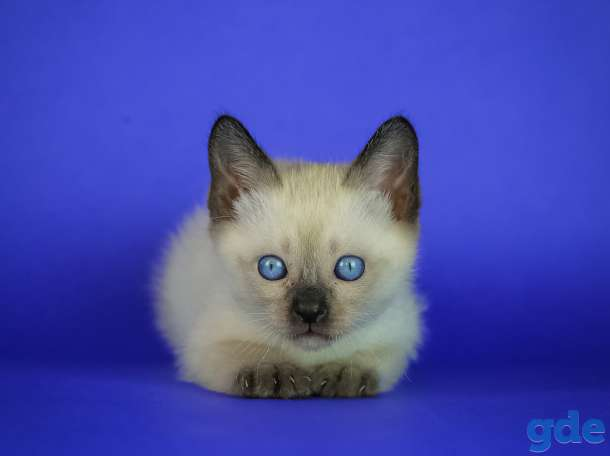 Котята редкой породы Той-боб, фотография 1