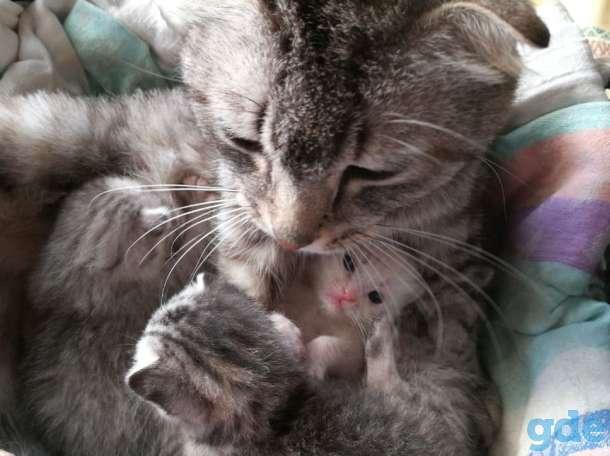 Шотландские котята. Пушистое счастье в ваш дом., фотография 3