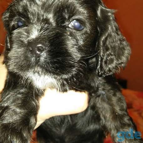 Продам щенков американский кокер спаниель, фотография 2