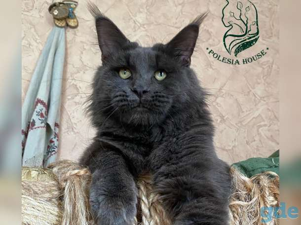 Котята Maine Coon - такие только у нас!, фотография 6