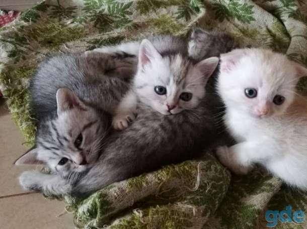 Шотландские котята. Пушистое счастье в ваш дом., фотография 1