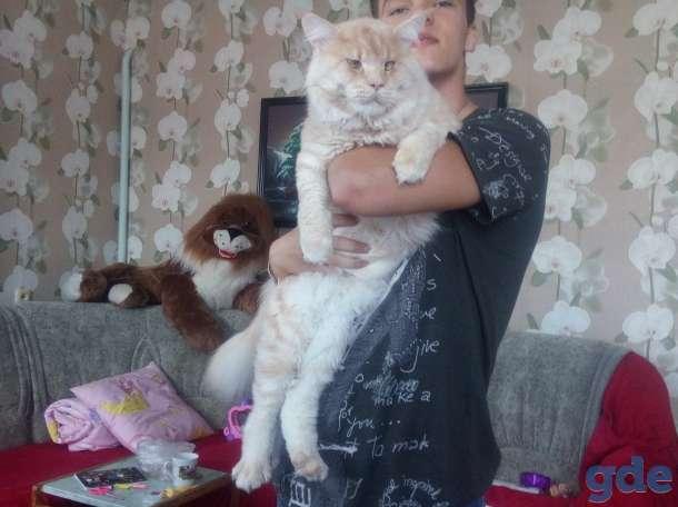Мейн-кун, котята, фотография 8